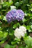 Fiore viola dell'ortensia di hortensia del primo piano nel giardino fotografia stock libera da diritti