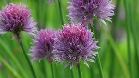 Fiore viola della erba cipollina archivi video