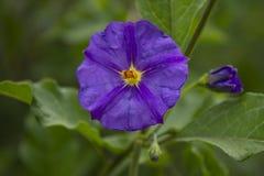 Fiore viola della foto con il fondo verde di pendenza Fotografie Stock Libere da Diritti