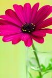Fiore viola della margherita Immagine Stock Libera da Diritti