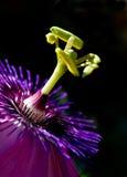 Fiore viola della passiflora Immagine Stock