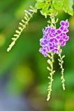 Fiore viola di Duranta del fiore Immagine Stock Libera da Diritti