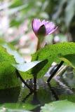 Fiore viola di fioritura della ninfea immagini stock libere da diritti