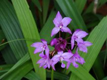 Fiore viola di Sud-est asiatico Fotografie Stock Libere da Diritti