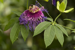 Fiore viola e dentellare di passione Immagine Stock