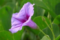 Fiore viola in giardino Immagini Stock Libere da Diritti