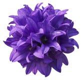 Fiore viola isolato Immagini Stock Libere da Diritti