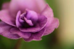 Fiore viola isolato su fondo verde Fotografia Stock