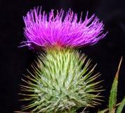 Fiore viola a macroistruzione del cardo selvatico Fotografia Stock Libera da Diritti
