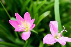 Fiore viola molle con il fondo dell'erba verde fotografia stock libera da diritti