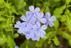 Fiore viola Ortensia porpora in natura fotografie stock libere da diritti