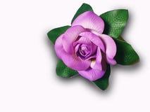 Fiore viola piacevole di colore su fondo bianco fotografia stock