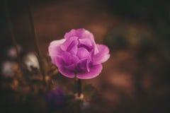 Fiore viola retro Immagini Stock Libere da Diritti