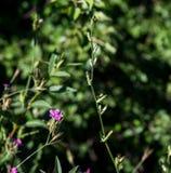 Fiore viola selvaggio Fotografie Stock