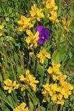 Fiore viola selvaggio della pansé fra i fiori gialli della ginestra immagini stock