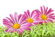 Fiore viola su erba Fotografia Stock Libera da Diritti