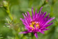 Fiore viola su priorit? bassa verde fotografia stock