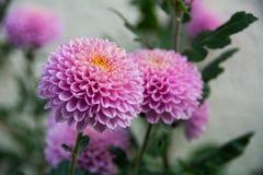 Fiore violento dei crisantemi Immagini Stock Libere da Diritti