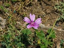Fiorendo malva comune o alta, sylvestris della malva, fiore in primo piano dell'erba, fuoco selettivo, DOF basso Immagini Stock