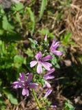 Fiorendo malva comune o alta, sylvestris della malva, fiore in primo piano dell'erba, fuoco selettivo, DOF basso Fotografia Stock Libera da Diritti
