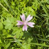 Fiorendo malva comune o alta, sylvestris della malva, fiore in primo piano dell'erba, fuoco selettivo, DOF basso Immagini Stock Libere da Diritti