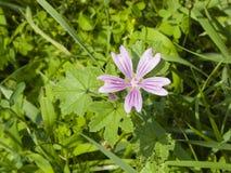Fiorendo malva comune o alta, sylvestris della malva, fiore in primo piano dell'erba, fuoco selettivo, DOF basso Immagine Stock