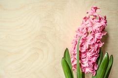 Fiorendo sul giacinto di rosa del fiore di feste della molla Immagine Stock