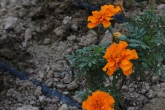 3 fiori Immagini Stock