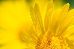 Fiori 2 di colore giallo Fotografie Stock