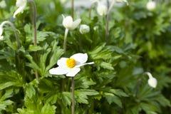 Fiori abbastanza bianchi che fioriscono in un giardino Fotografie Stock