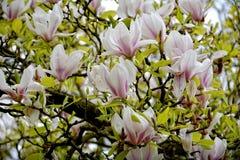 Fiori abbastanza bianchi della magnolia Immagine Stock