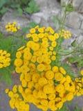 Fiori abbastanza gialli della roccia in prato selvaggio Fotografia Stock