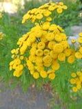 Fiori abbastanza gialli della roccia in prato selvaggio Fotografia Stock Libera da Diritti