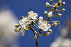 Fiori acidi del ciliegio in primavera Fotografia Stock