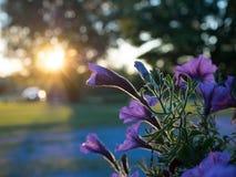 Fiori al tramonto Immagine Stock Libera da Diritti