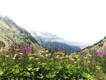 Fiori in alpi svizzere Fotografia Stock Libera da Diritti