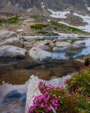 Fiori alpini dell'alloro di microphylla di Kalmia Fotografie Stock
