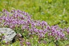 Fiori alpini della montagna Fotografie Stock