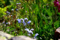 Fiori alpini di fioritura dei colori differenti Immagini Stock Libere da Diritti