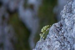 Fiori alpini sulla roccia Immagine Stock
