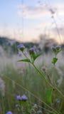 Fiori alti vicini dell'erba di selezione Fotografia Stock Libera da Diritti