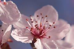 Fiori in anticipo dell'albero di colore rosa della sorgente Immagine Stock