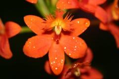 Fiori arancio con la rugiada Fotografia Stock Libera da Diritti