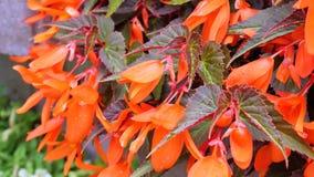 Fiori arancio del giardino di fiori con le foglie porpora Movimento della macchina fotografica intorno alle elasticità voi l'oppo video d archivio