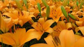 Fiori arancio del giglio Fotografia Stock Libera da Diritti