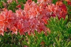 Fiori arancio del rododendro Fotografia Stock
