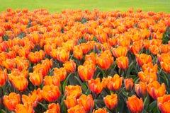 Fiori arancio del tulipano Fotografie Stock Libere da Diritti