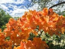 Fiori arancio dell'azalea un giorno di molla Immagine Stock