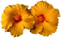 Fiori arancio dell'ibisco Fotografia Stock