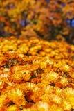 Fiori arancio di Astra del piccolo giardino fotografie stock libere da diritti